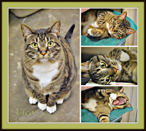 Photo of cute poses of Cleo, a gray, black and gold tabby.