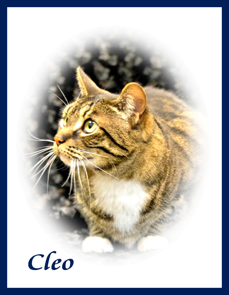 Photo of beautiful Cleo, a gray, black and gold short haired tabby.