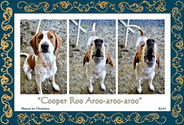 Cooper baying at ...
