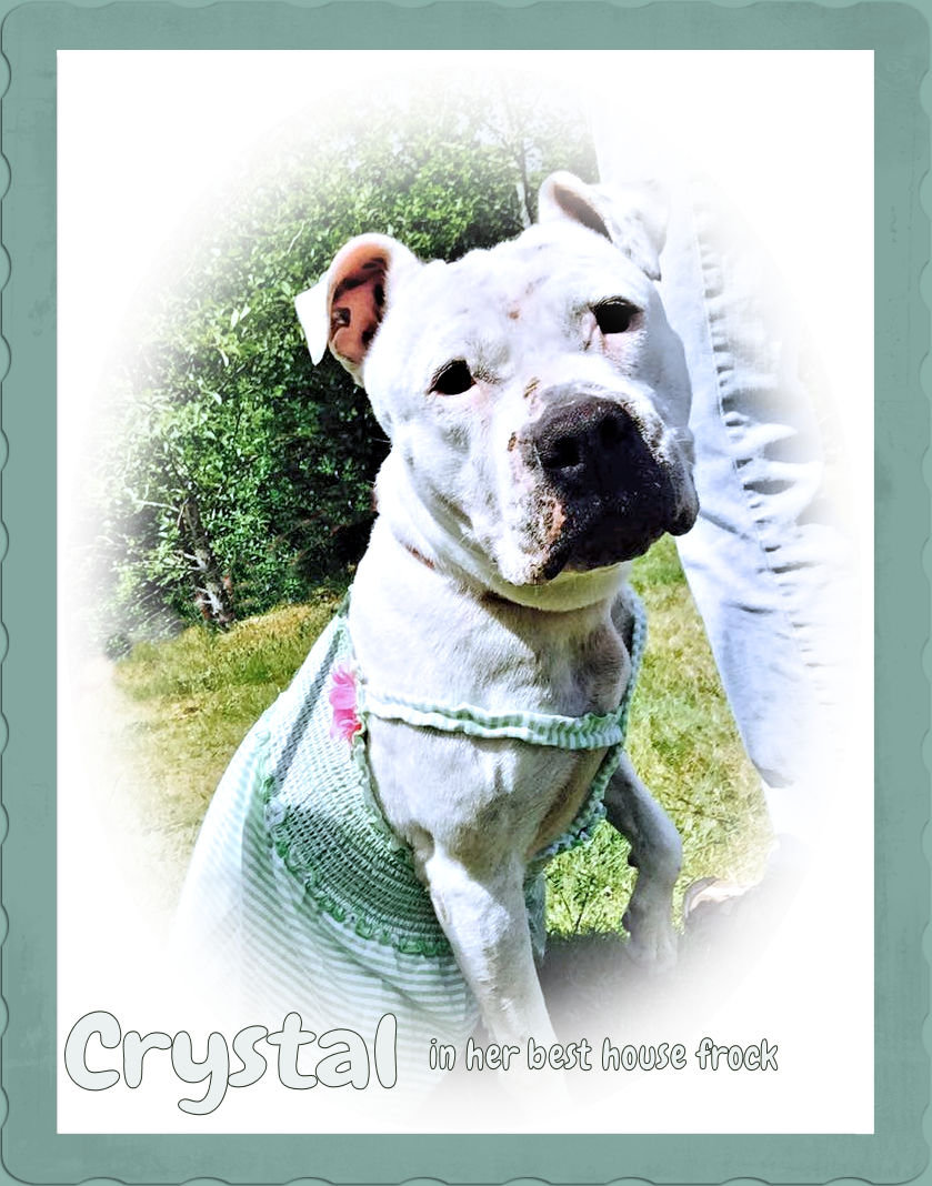 Photo of Crystal, a white pitbull, wearing a green summer frock.