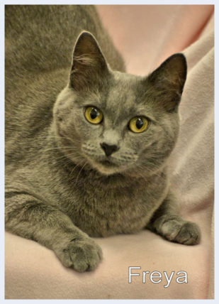Beautiful soft gray female cat with intense yellow eye.