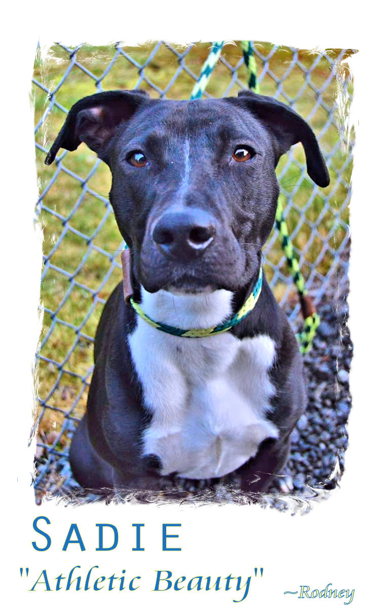 Photo of Sadie, a black and white pit/lab mix.