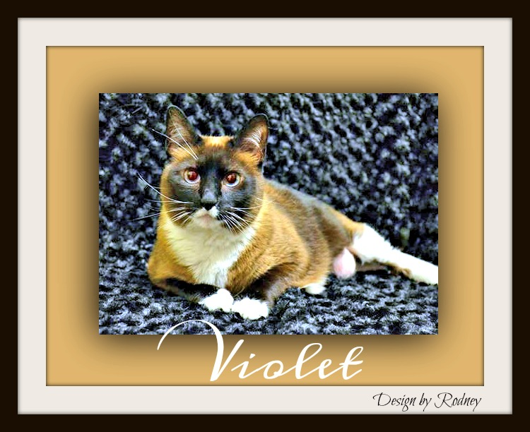 Photo of Violet a beautiful Snowshoe & short hair mix