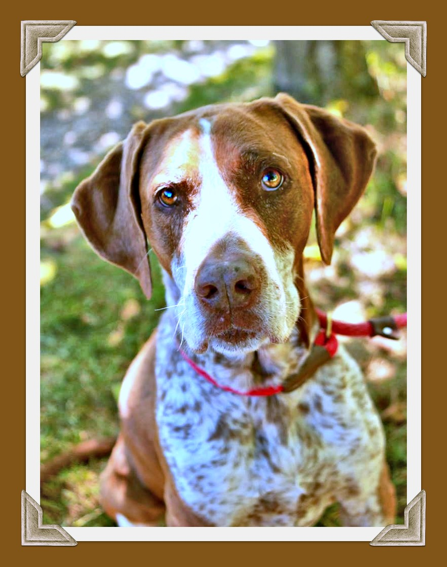 Photo of l4-year-old female pointer, brown and white