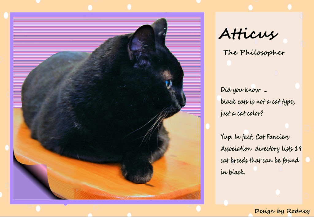 Photo of Atticus a 3 year old black cat, lounging confidently on a shelf