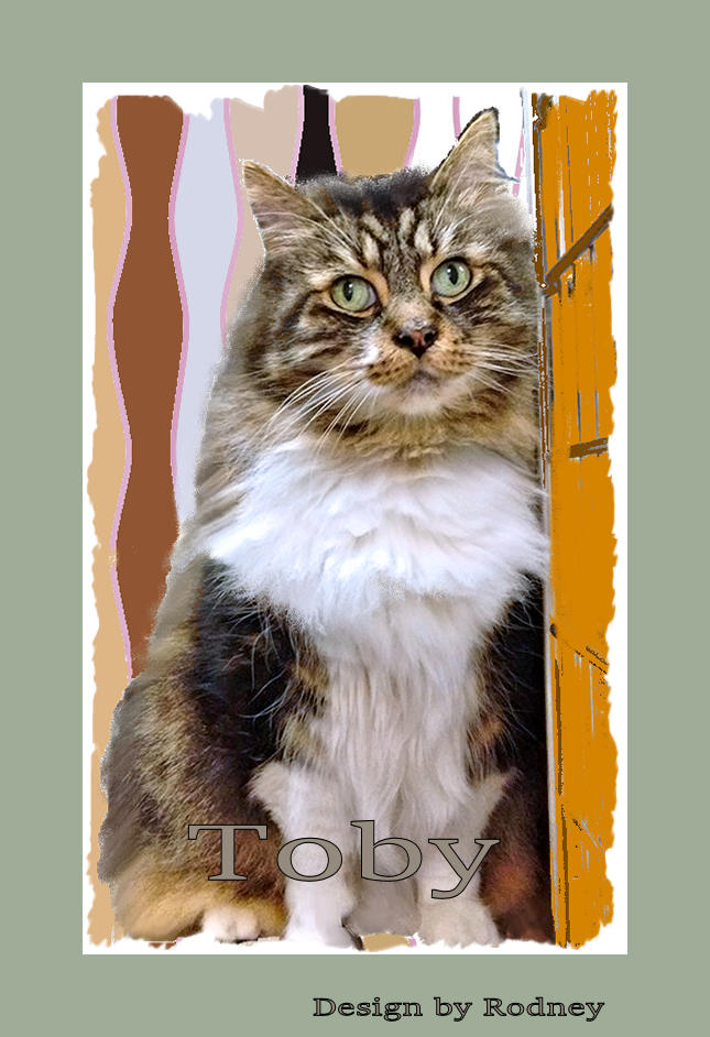Photo of Toby, a senior male tabby