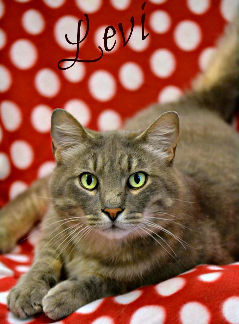 Photo of Levi, a handsome six year old gray and tan tabby with gray stripes.