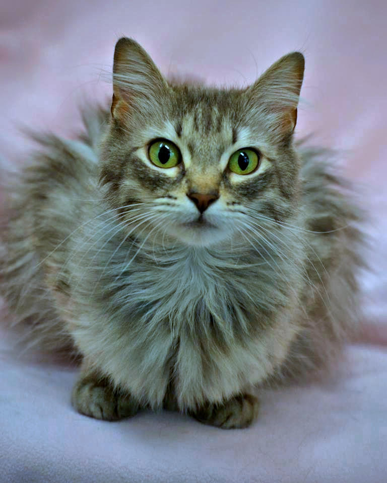 Photo of Ottie, a gorgeous gray puffball of a manx.