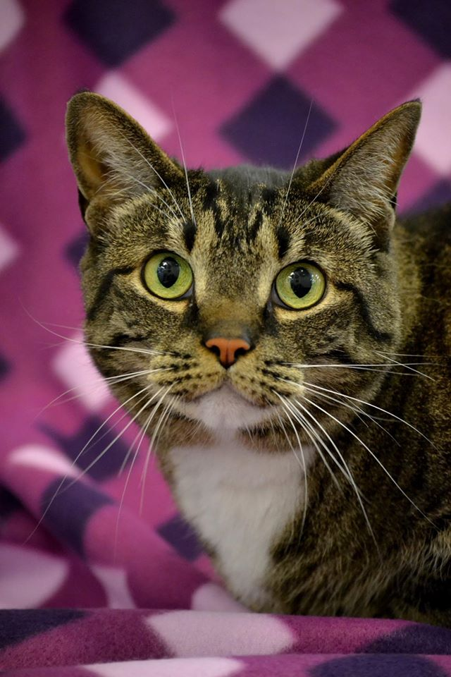 Tahini, a striking 8 year old female tabby.